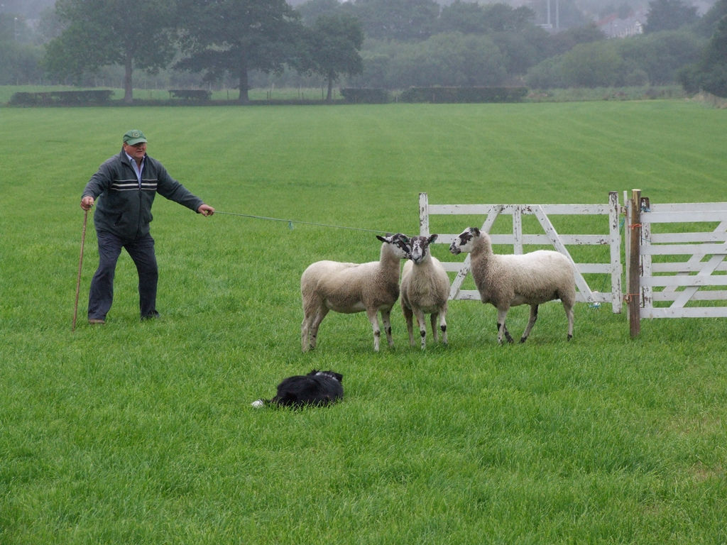 Macclesfield sheep dog trials 2010 drizzle jpg